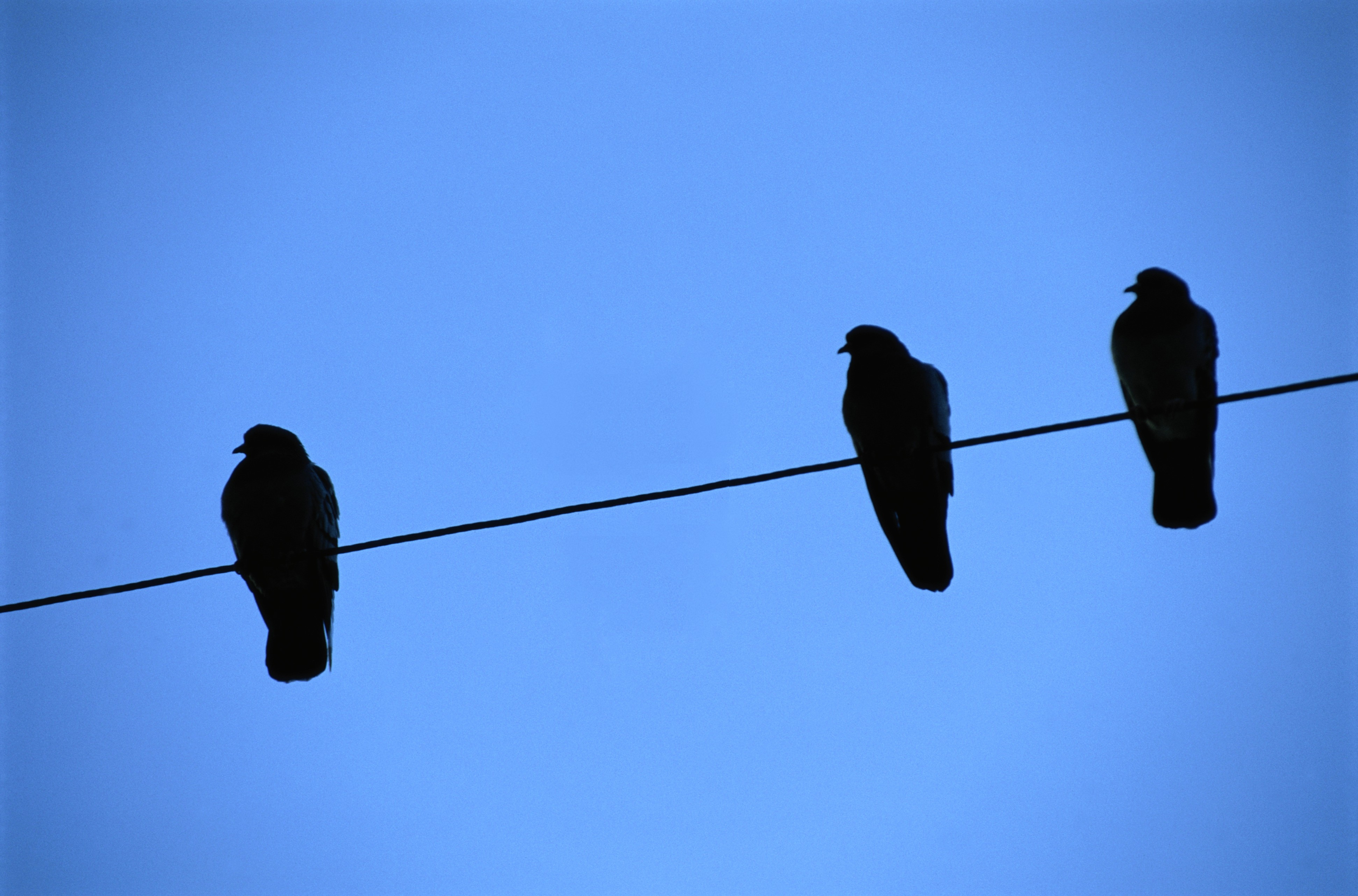 Pigeons on a Wire 2015