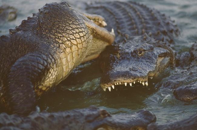 Alligators Fighting