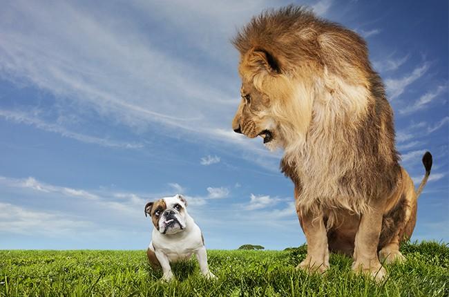 Lion Intimidating An English Bulldog